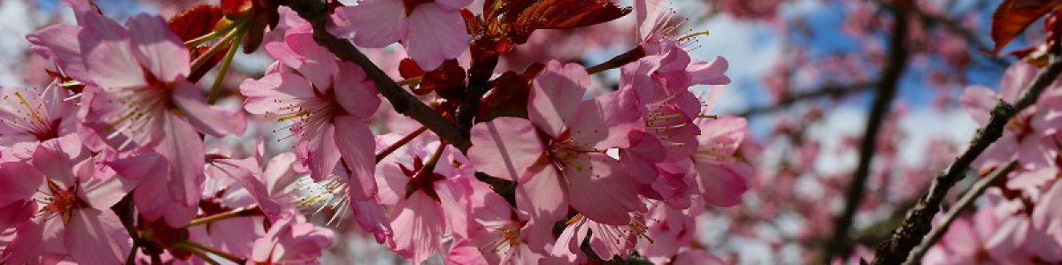 桜の名所・子野日公園